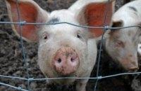 У Харківській області зафіксований спалах чуми свиней