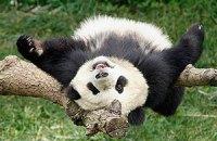 Пятничная панда #33