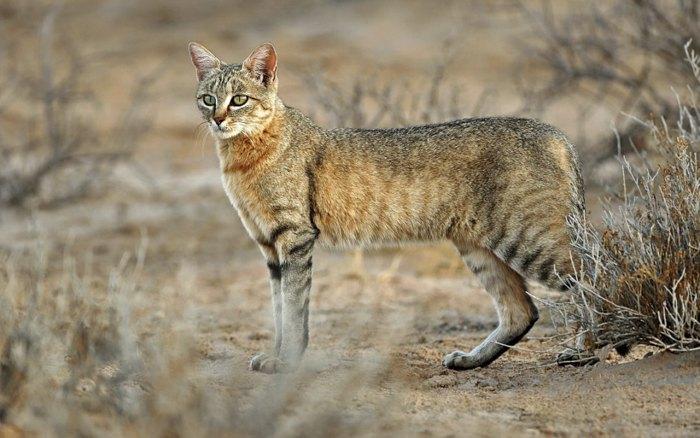 Африканська дика кішка, прародич якої був одомашнений людиною близько 10 000 років тому.