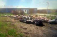 На ферме в Хмельницкой области за ночь умерли 88 коров