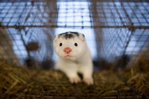Аграрный комитет Рады не поддержит законопроект о запрете производства меха