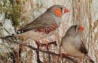 В пении птиц присутствуют грамматические правила