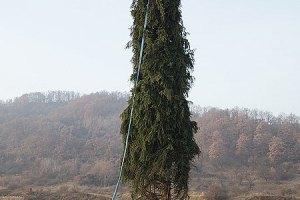 В Ватикане установили украинскую елку