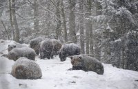 """Медведи из парка """"Синевир"""" начали впадать в зимнюю спячку"""