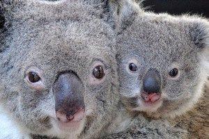 Австралия возьмет под защиту коал, которым может грозить исчезновение