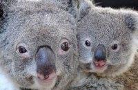 Австралія візьме під захист коал, яким може загрожувати зникнення