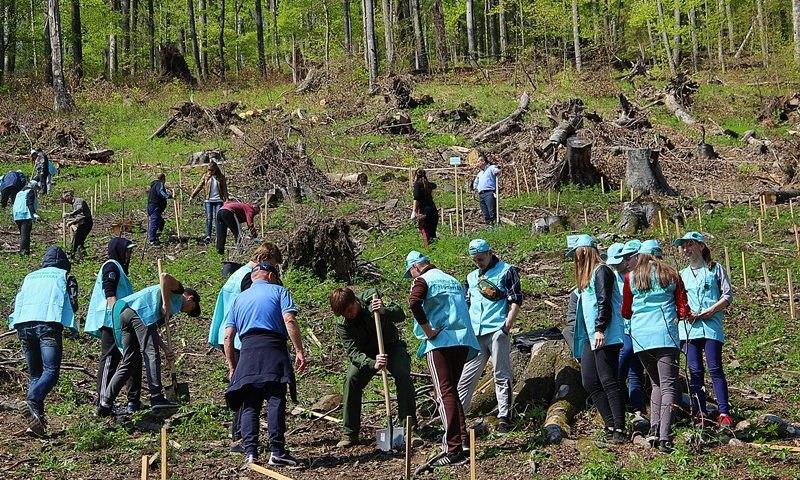 Посадка лісу на території Кам`яницького лісництва ДП Ужгородське лісове господарство