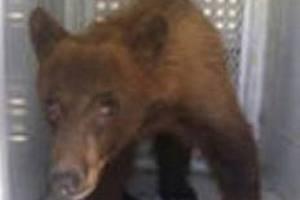 Медведь сорвал выпускной в Калифорнии