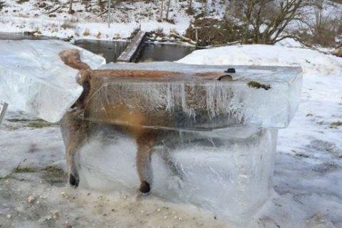 У Німеччині мисливець встановив на ґанку готелю замерзлу в Дунаї лисицю