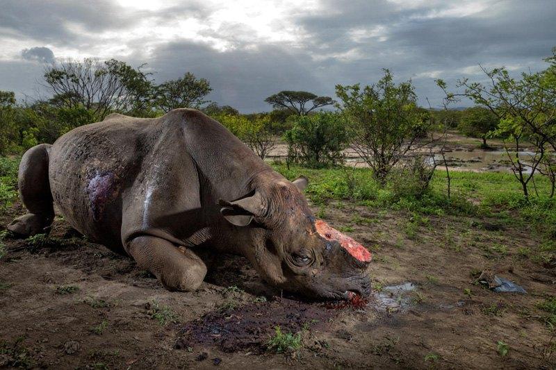 Носорог погиб от рук браконьеров в парке Хлухлуве-Умфолози, ЮАР. Черных носорогов истребляют из-за спроса на ценный рог животного, численность которого на сегодня составляет всего 5000 особей.