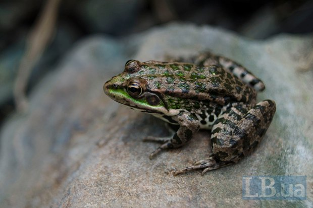 Ця бувала жаба на своєму віку вже бачила мінометні обстріли