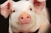 """Консерви із свиней з """"африканською чумою"""" безпечні, запевняють ветеринари"""