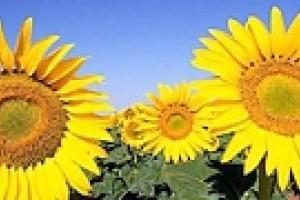 Украина бьет рекорды по экспорту подсолнечного масла