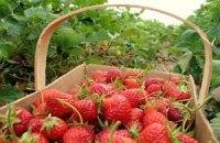 Украина увеличит производство клубники в четыре раза, - мнение
