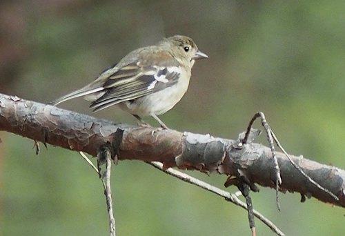 Крымская птичка от Юрия