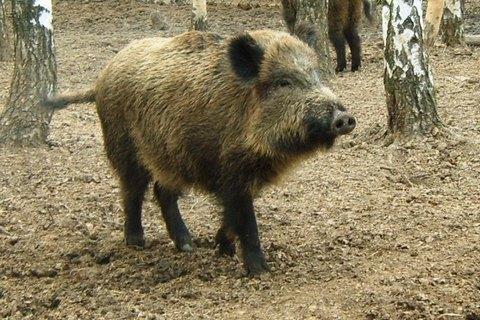 В Україну повернулася африканська чума свиней