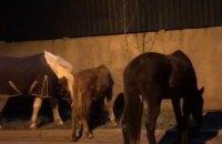 В Одессе патрульные поймали четырех сбежавших от хозяйки лошадей