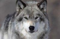Национальным зверем Эстонии стал волк