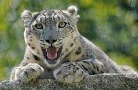 Коронавірус виявили у снігового барса, який живе в каліфорнійському зоопарку