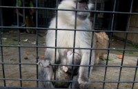 Киевский зоопарк объявил конкурс на лучшее имя для малыша зеленой мартышки