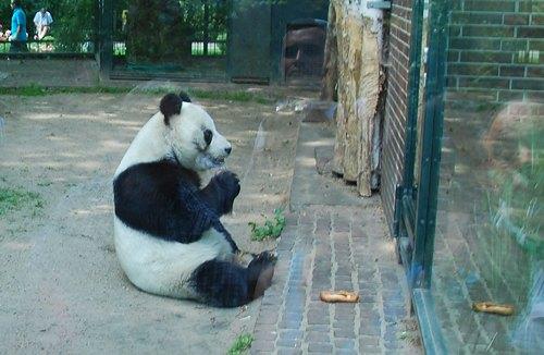 Панду з Берлінського зоопарку надіслала наша постійна читачка Ірина