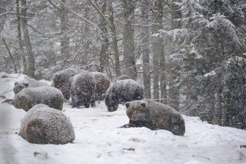 """Ведмеді з парку """"Синевир"""" почали впадати у зимову сплячку"""