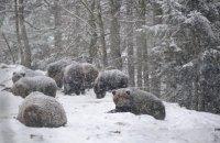 """Из-за теплой погоды в парке """"Синевир"""" лишь три медведя впали в зимнюю спячку"""