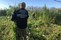 Прикордонники знищили майже 20 тисяч кущів коноплі на Луганщині