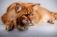 В Днепре зарегистрировали самого крупного кота в Украине