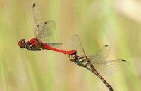 Ученые научились перекрашивать стрекоз