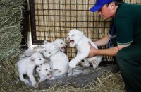 У приватному зоопарку під Києвом народилися п'ятеро білих левенят