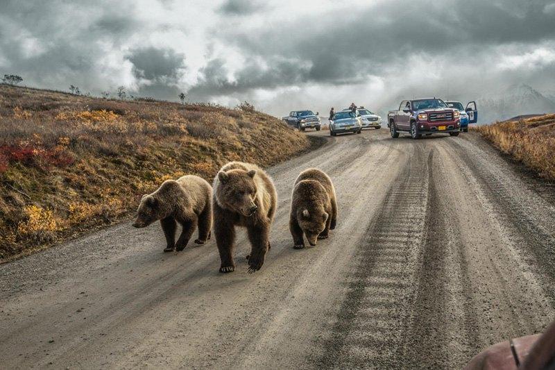 """Самка гризли и ее детеныши создали """"медвежью пробку"""" на дороге на горе Денали, Аляска. Дорога летом открыта для частных автомобилей лишь в течение 5 дней."""