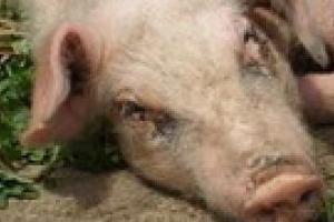 В Украину добрался свиной грипп