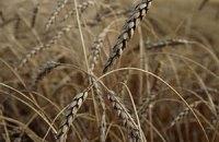 Дощі можуть погіршити якість врожаю зернових