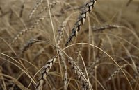 У США підвищили прогноз урожаю українських зернових