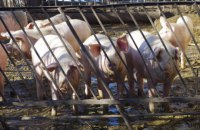 Из-за АЧС Украина может потерять отрасль свиноводства, - Кутовой