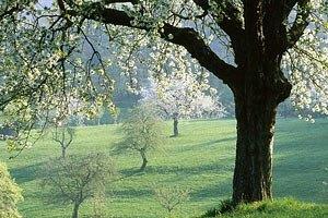 В Киеве станет на 25 заповедных деревьев больше