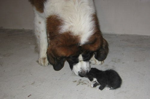 Историю дружбы пса Грея и кота Фикуса прислала Панга Мария: <<Фикус попал к нам недоношенным и до конца не окрепшим. Настоящей мамой ему стал пес Грей.>>
