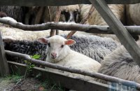 У грузинському селі блискавка вбила більше 500 овець