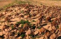В Австралии 10 тыс. верблюдов грозит отстрел из-за засухи