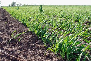 В Україні загинуло чверть озимих