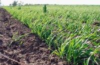 Треть посевов озимых могут не пережить морозы