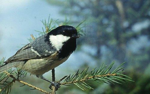 """Читатель Lb.ua Виктор Пасмор традиционно прислал фото птицы: <<Это синица """"московка"""". Прилетает зимой к нам на зимовку из подмосковных лесов. Не путать с распространенной у нас синицей большой. >>"""