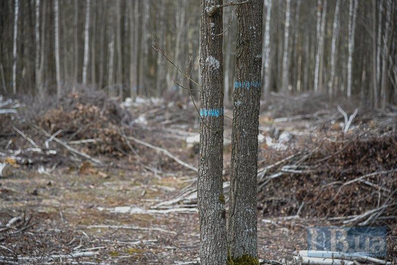 Блакитні смужки - позначки на крайніх деревах, що межують з вирубкою.
