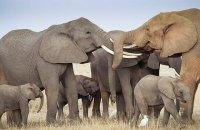 Африканских слонов признали исчезающим видом
