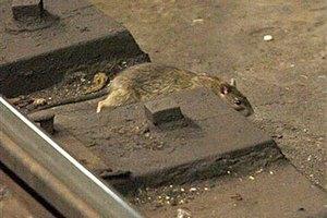 В нью-йоркском метро из-за крыс предложили запретить еду