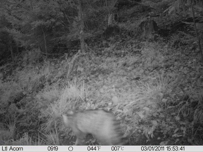 Знайди кота - фото з фотоловушки у Сколівському національному природному парку