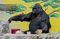 В Киевском зоопарке отпраздновали 45-летие единственной гориллы в Украине