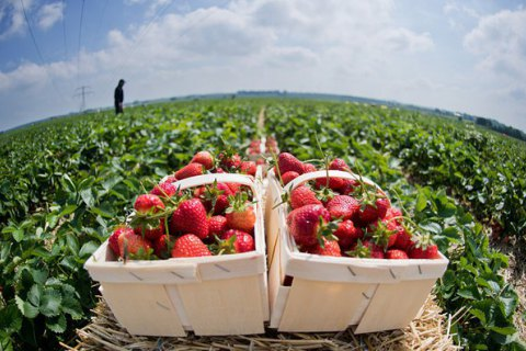 Польские и британские фермеры крайне заинтересованы в украинских работниках, - журналисты