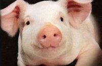 Из-за африканской чумы свиней в Одесской области закрылось сто свиноферм